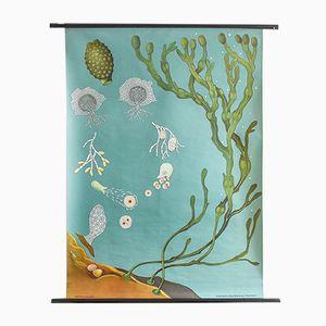 Poster botanico della flora oceanica di Hagemann, anni '60