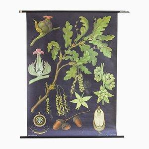 Botanischer Druck mit Eichen-Illustration von Hagemann, 1960er