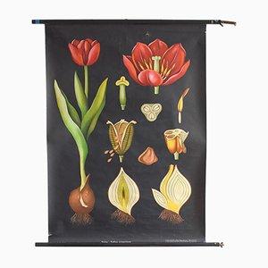 Stampa educativa vintage botanica raffigurante un tulipano di Jung, Koch, Quentell per Hagemann
