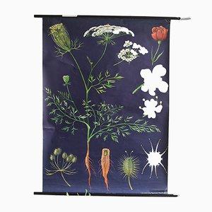 Affiche Déroulante Tableau Botanique Carotte Vintage par Jung, Koch, & Quentell pour Hagemann