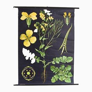 Botanische Vintage Lehrtafel von Jung, Koch, Quentell für Hagemann