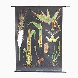 Aufrollbare botanische Vintage Lehrtafel von Jung, Koch & Quentell für Hagemann