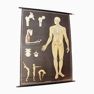 Deutsche Vintage Anatomie Lehrtafel von Hagemann, 1965