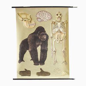 Mid-Century Gorilla Lehrtafel von Hagemann