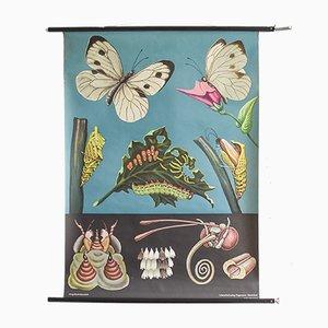 Schmetterling Lehrtafel aus Vorschule von Hagemann, 1960er