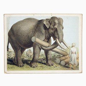 Poster raffigurante un elefante indiano, inizio XX secolo
