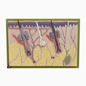Pantalla de pared médica vintage de Somso, años 70