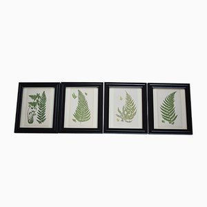 Antique Botanical Fern Prints by Anne Pratt, 1870s, Set of 4