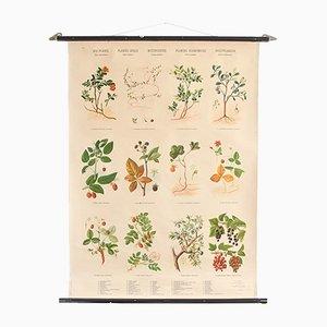Botanische Beeren Lehrtafel von Hagemann, 1960er
