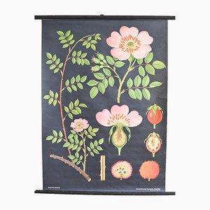 Poster botanico scolastico nero di Jung, Koch & Quentell per Hagemann, anni '60