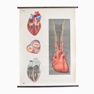 Póster sobre la anatomía del corazón vintage