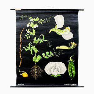 Vintage Peas Wall Chart by Jung, Koch, & Quentell for Hagemann