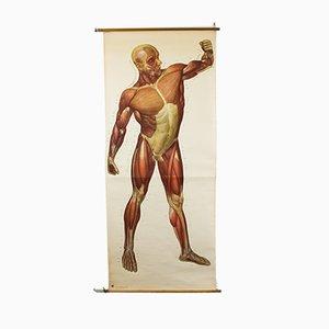 Anatomische Vintage Lehrtafel der Muskulatur, 1959