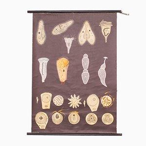 Charte Scolaire Unicellulaire Vintage par Jung, Koch, & Quentell, 1960s