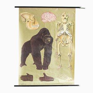 Ausrollbare Mid-Century Gorilla Lehrtafel von Jung, Koch & Quentell für Hagemann, 1960er
