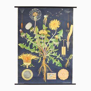 Vintage Botanical Dandelion Chart by Gottlieb von Koch, 1960s