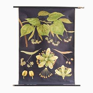 Póster escolar botánico, años 60