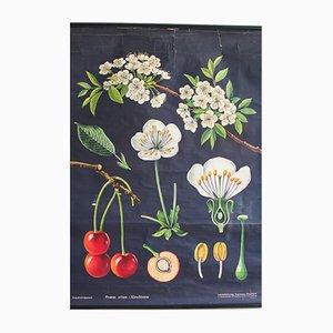 Affiche Botanique du Cerisier, 1960s