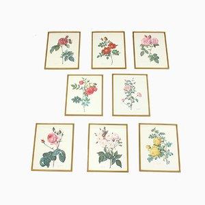 Eingerahmte botanische Rosenbilder, 1970er, 8er Set