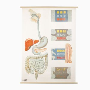Anatomy Poster from the Deutsches Hygiene Museum Dresden, 1970s