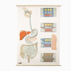 Póster de anatomía del Deutsches Hygiene Museum Dresden, años 70