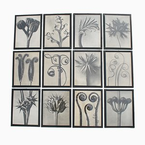 Photogravures by Karl Blossfeldt, 1920s, Set of 12