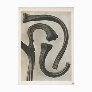 Modern Photogravure by Karl Blossfeldt, 1942