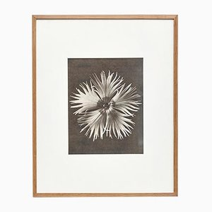 Black and White Flower Botanic Photography by Karl Blossfeldt, 1942