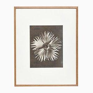 Photographie Botanique de Fleur Noire et Blanche par Karl Blossfeldt, 1942