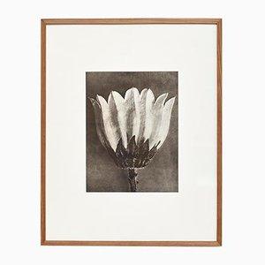Photographie de Fleur Noire et Blanche Vintage par Karl Blossfeldt, 1942