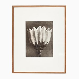 Vintage Black & White Flower Photograph by Karl Blossfeldt, 1942