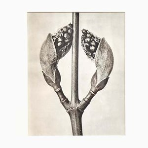 Black White Flower Photogravure by Karl Blossfeldt, 1942
