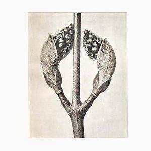 Photogravure en Noir et Blanc de Fleur par Karl Blossfeldt, 1942