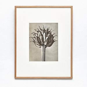 Black and White Botanic Print by Karl Blossfeldt, 1942