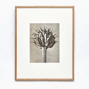 Schwarz-weißer botanischer Druck von Karl Blossfeldt, 1942