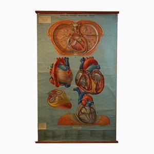 Póster con ilustración médica de Adam Rouilly & Company, años 40