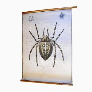 Póster de zoología con araña antiguo de Karl Jansky, década de 1890