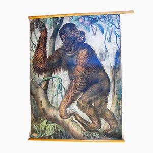Antike Orang Utan Lehrtafel von Karl Jansky, 1890er