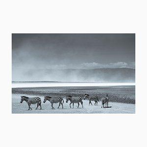 Herd of Zebra Druck von Tim Graham