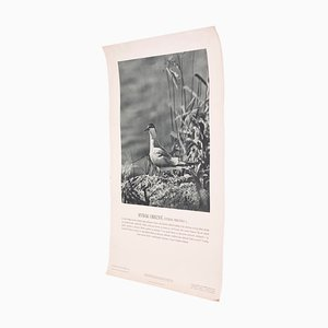 Vintage Common Tern Poster