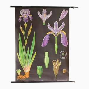 Vintage Iris Botanical Chart by Jung, Koch, & Quentell for Hagemann, 1960s