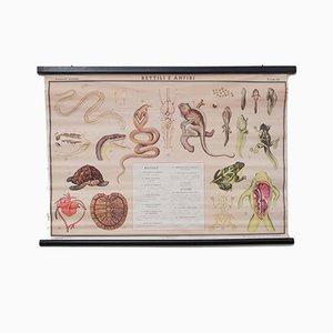 Póster educativo italiano vintage sobre reptiles y anfibios de Paravia, 1968