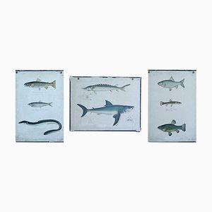 Vintage Lehrtafeln über Fischarten, 3er Set