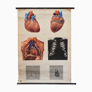 Vintage No.20537/I Anatomy Wall Chart from Deutsches Hygiene-Museum, 1950s