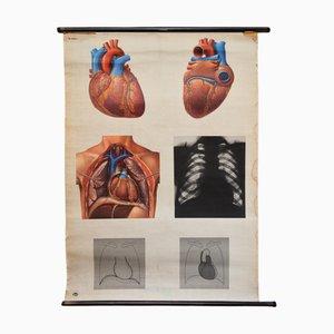 Vintage Nr.20537/I Anatomie-Lehrtafel von Deutsches Hygiene-Museum, 1950er