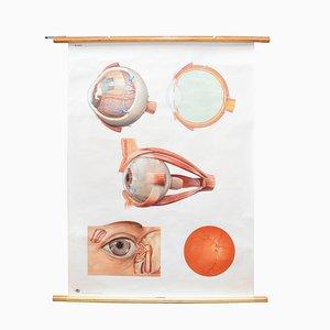 Poster anatomico 2012/I vintage di Deutsches Hygiene Museum, anni '50