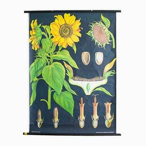 Lehrtafel über Sonnenblumen, 1960er