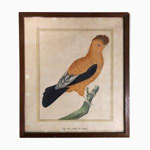 Impresión de pájaro siglo XVIII de François-Nicolas Martinet