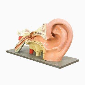 Modelo anatómico vintage de orejas