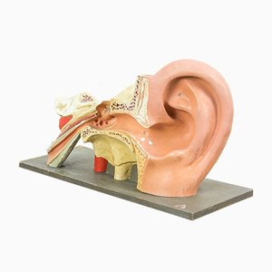 Vintage Anatomical Ear Model